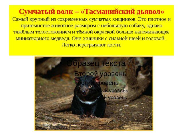 Сумчатый волк – «Тасманийский дьявол» Самый крупный из современных сумчатых х...