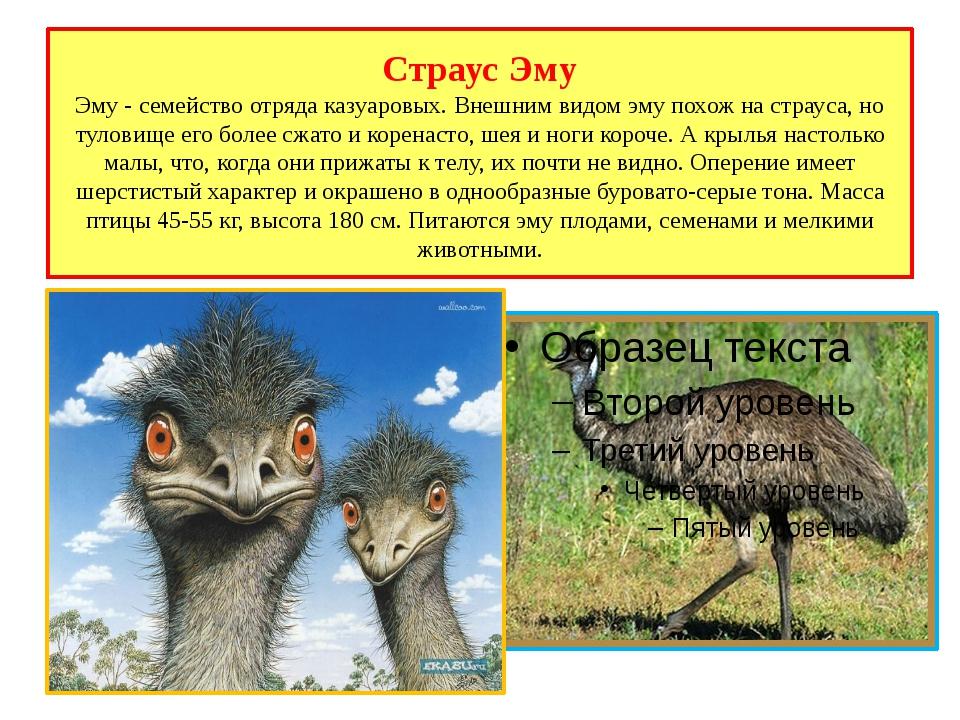 Страус Эму Эму - семейство отряда казуаровых. Внешним видом эму похож на стра...