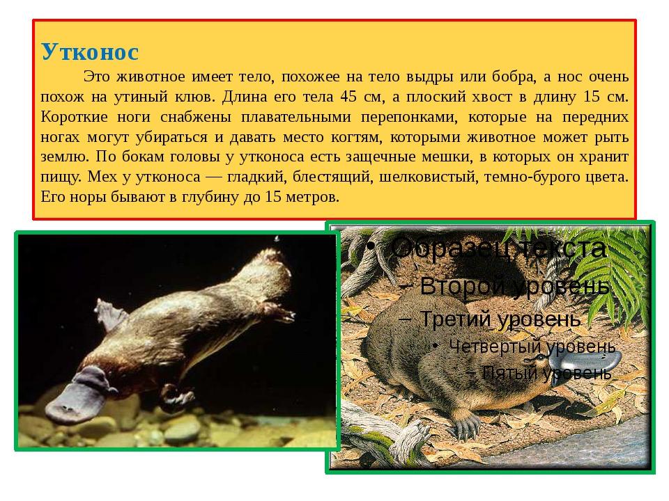 Утконос Это животное имеет тело, похожее на тело выдры или бобра, а нос очень...