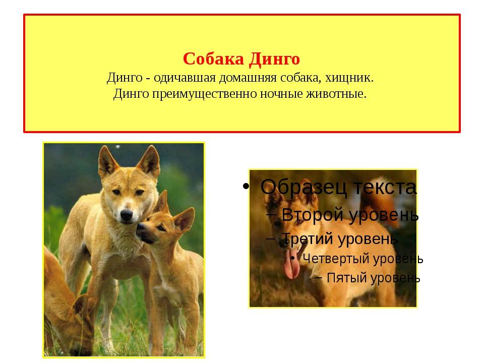 Собака Динго Динго - одичавшая домашняя собака, хищник. Динго преимущественно...