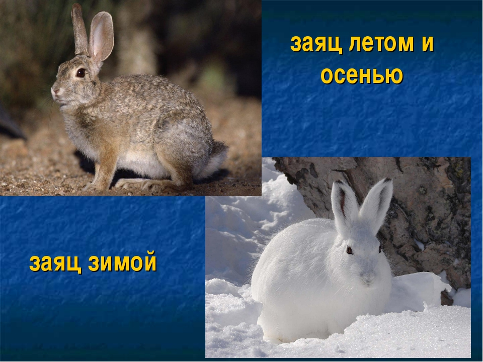 заяц летом и осенью заяц зимой