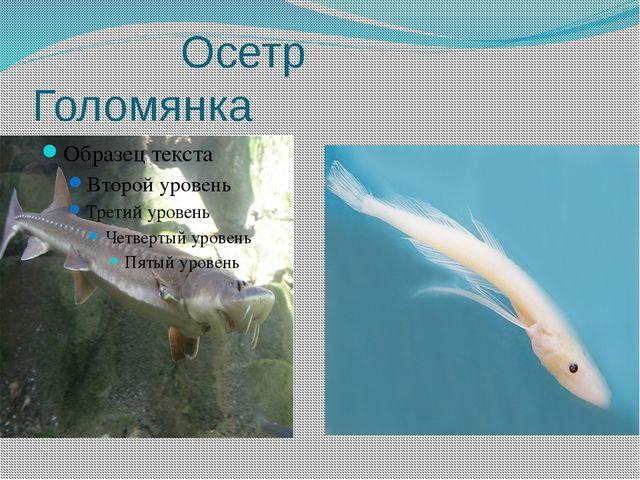 Осетр Голомянка