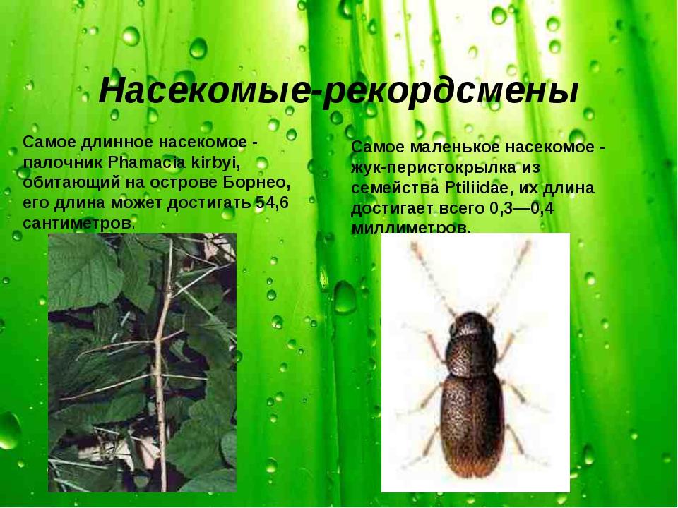 Насекомые-рекордсмены Самое длинное насекомое - палочник Phamacia kirbyi, оби...