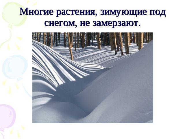 Многие растения, зимующие под снегом, не замерзают.