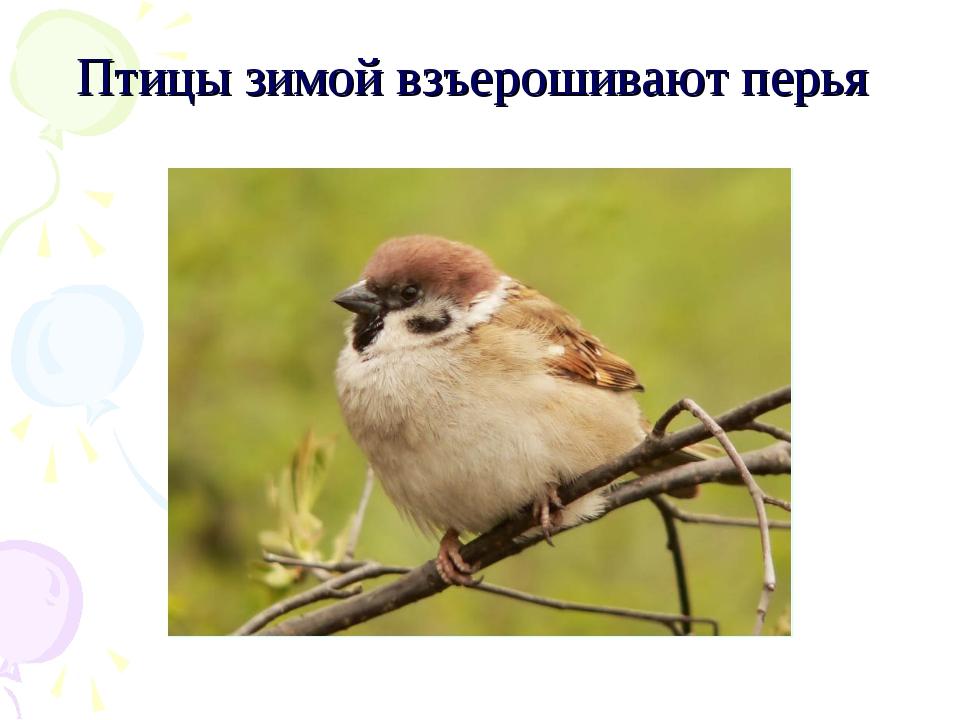 Птицы зимой взъерошивают перья