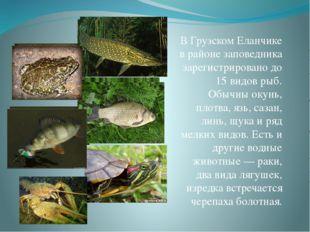 В Грузском Еланчике в районе заповедника зарегистрировано до 15 видов рыб. Об