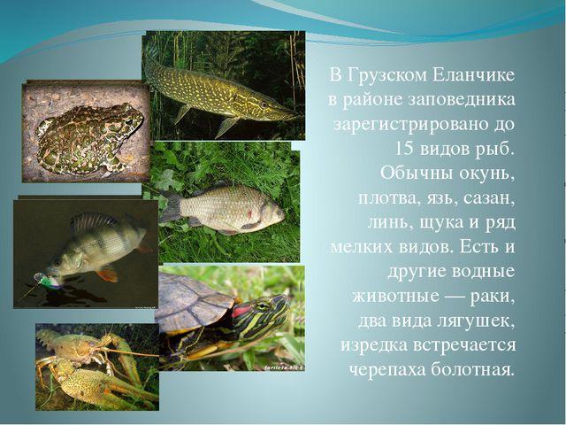 В Грузском Еланчике в районе заповедника зарегистрировано до 15 видов рыб. Об...