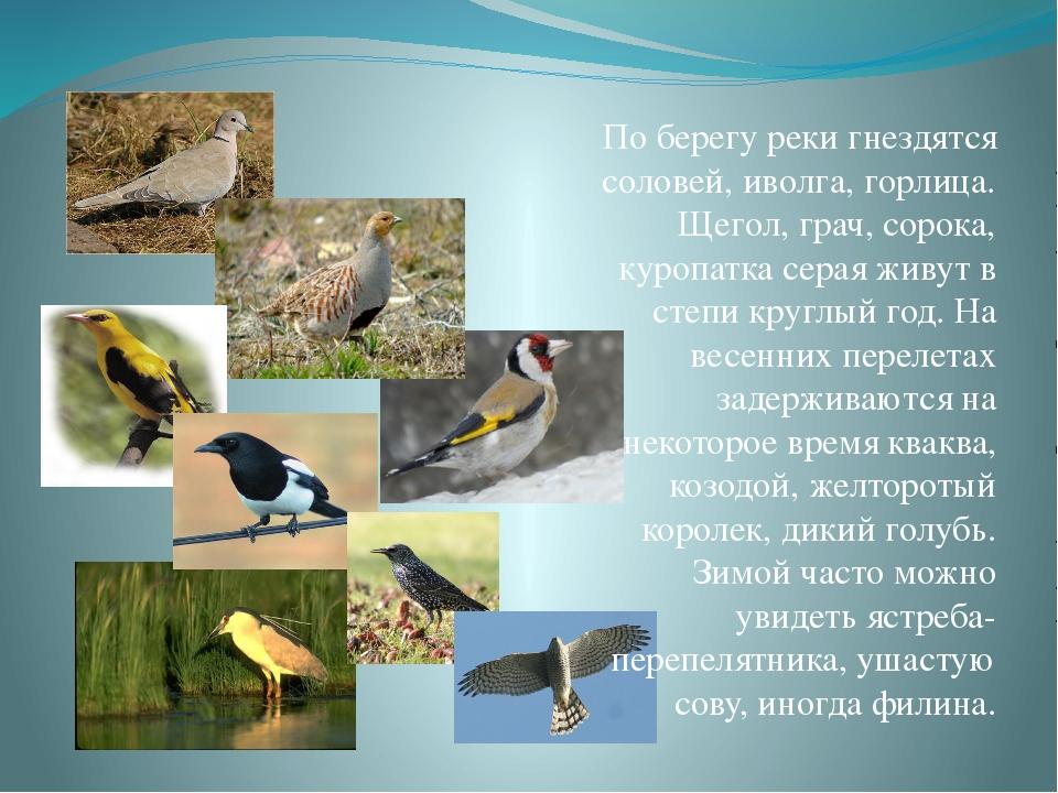По берегу реки гнездятся соловей, иволга, горлица. Щегол, грач, сорока, куроп...