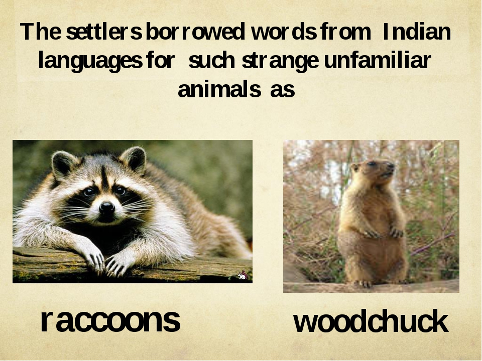raccoons woodchuck The settlers borrowed words from Indian languages for such...