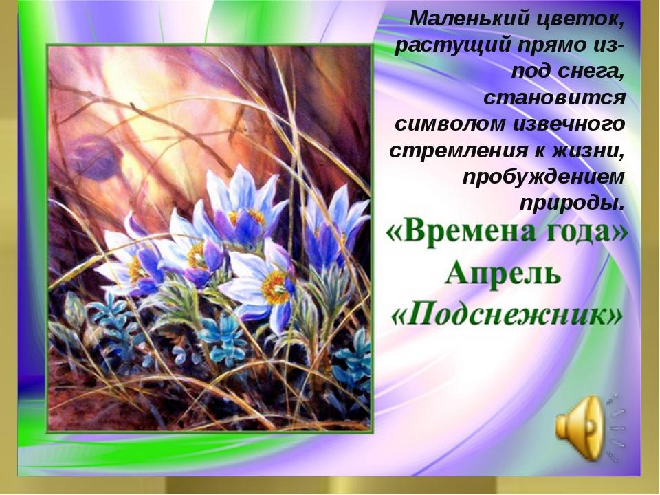 Маленький цветок, растущий прямо из-под снега, становится символом извечного...