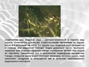 Серебрянка или водяной паук - распространённый в Европе вид пауков. Отличаетс