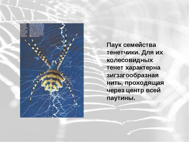 Паук семейства тенетчики. Для их колесовидных тенет характерна зигзагообразна...
