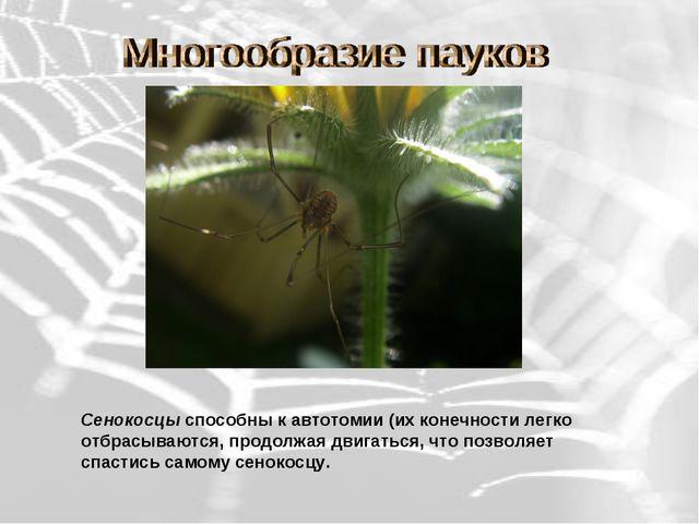 Сенокосцы способны к автотомии (их конечности легко отбрасываются, продолжая...