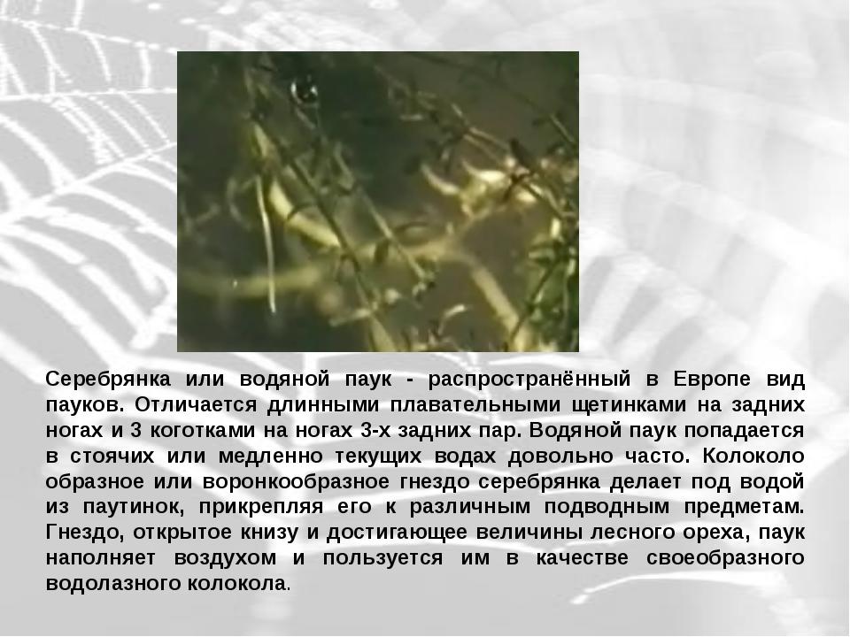 Серебрянка или водяной паук - распространённый в Европе вид пауков. Отличаетс...