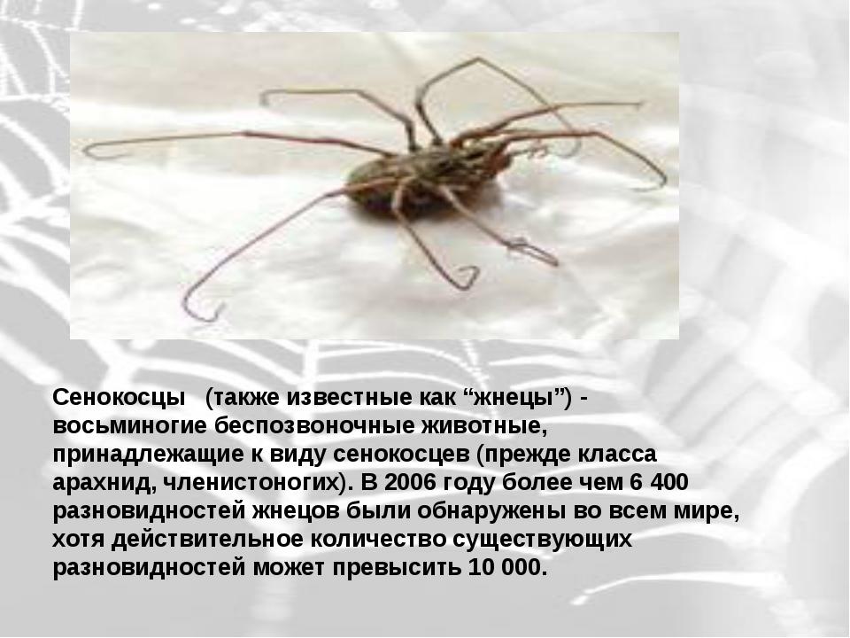 """Сенокосцы  (также известные как """"жнецы"""") - восьминогие беспозвоночные живот..."""