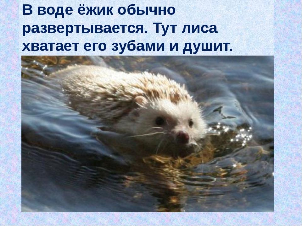 В воде ёжик обычно развертывается. Тут лиса хватает его зубами и душит.