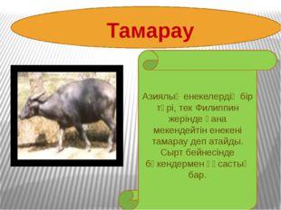 Тамарау Азиялық енекелердің бір түрі, тек Филиппин жерінде ғана мекендейті