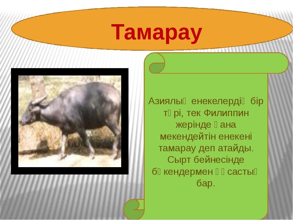 Тамарау Азиялық енекелердің бір түрі, тек Филиппин жерінде ғана мекендейті...
