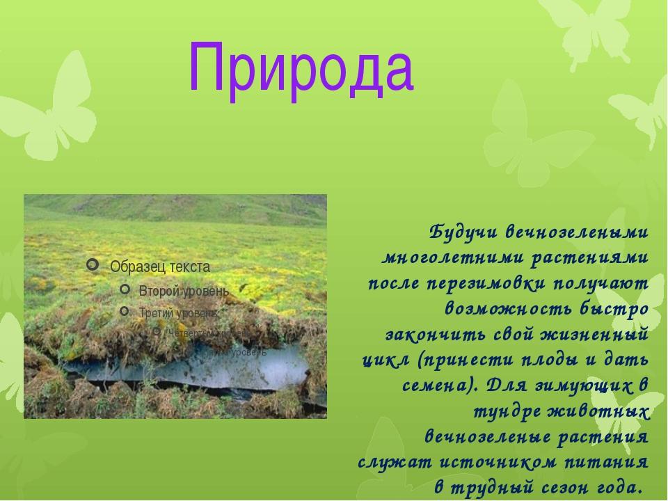 Природа Будучи вечнозелеными многолетними растениями после перезимовки получа...