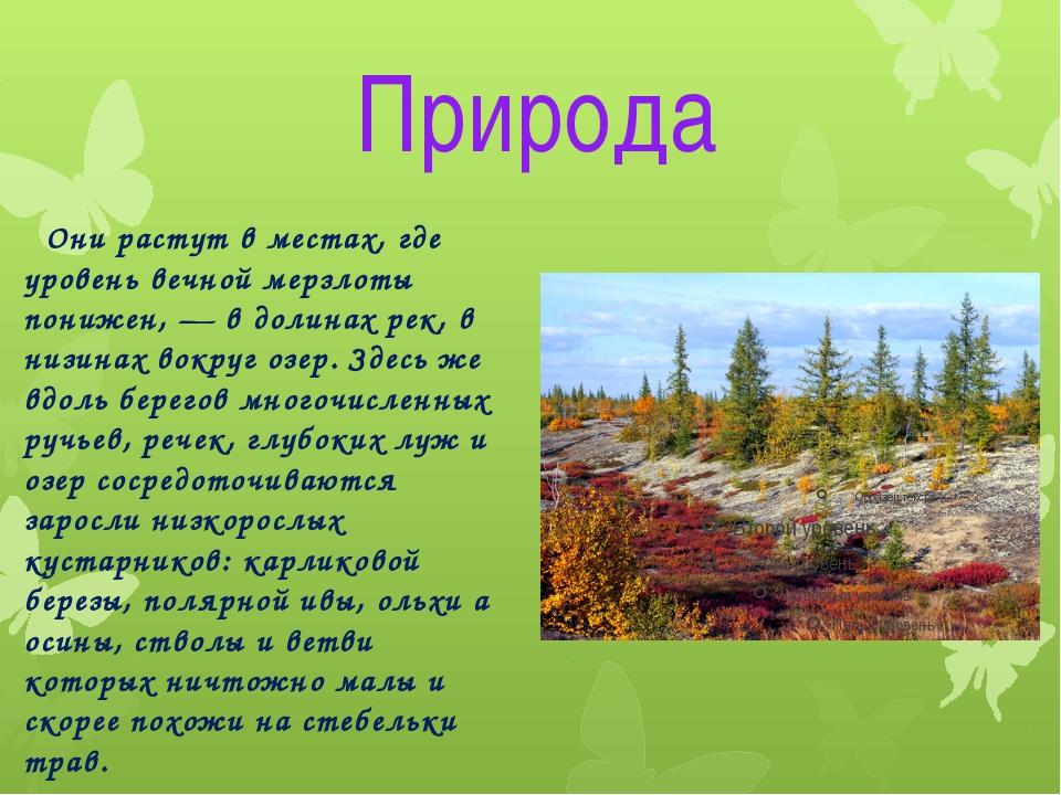 Природа Они растут в местах, где уровень вечной мерзлоты понижен, — в долинах...