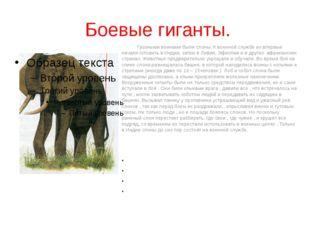 Боевые гиганты. Грозными воинами были слоны. К военной службе их впервые нач