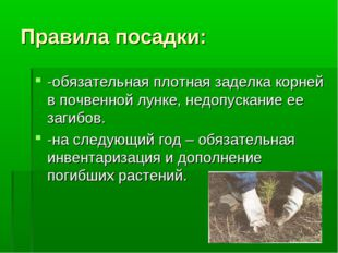 Правила посадки: -обязательная плотная заделка корней в почвенной лунке, недо