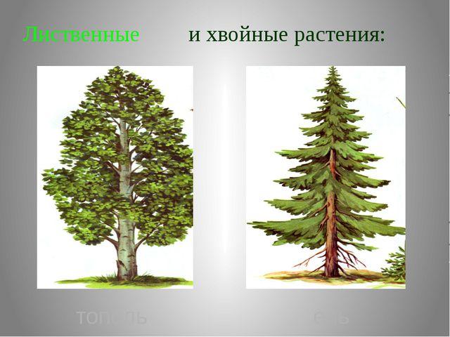 Лиственные и хвойные растения: тополь ель
