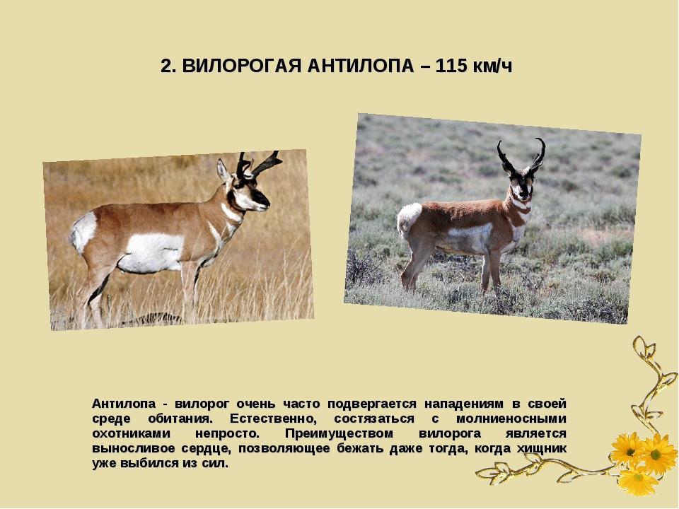 2. ВИЛОРОГАЯ АНТИЛОПА – 115 км/ч Антилопа - вилорог очень часто подвергается...