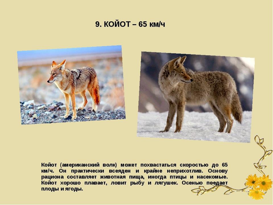 9. КОЙОТ – 65 км/ч Койот (американский волк) может похвастаться скоростью до...