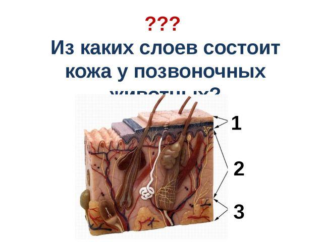 ??? Из каких слоев состоит кожа у позвоночных животных? 1 2 3