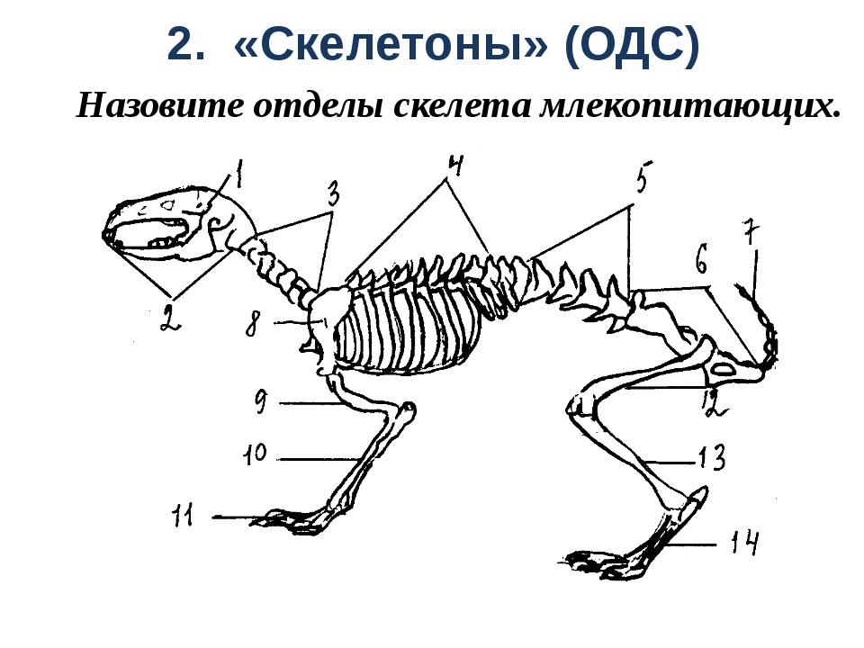 2. «Скелетоны» (ОДС) Назовите отделы скелета млекопитающих.