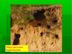 Нора ласточки- береговушки