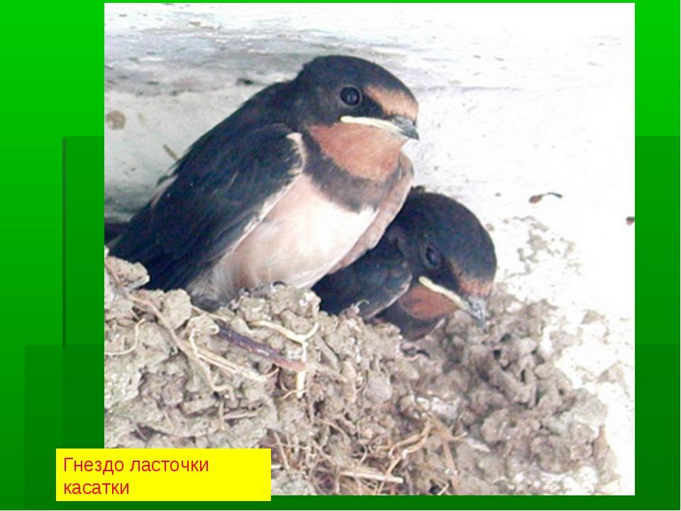 Гнездо ласточки касатки