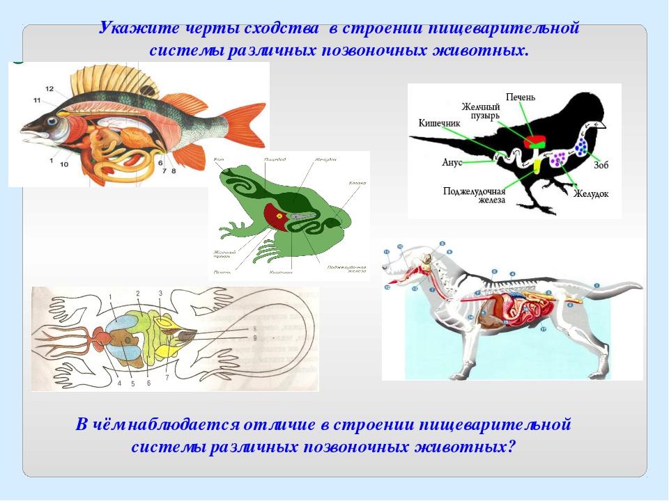 В чём наблюдается отличие в строении пищеварительной системы различных позвон...