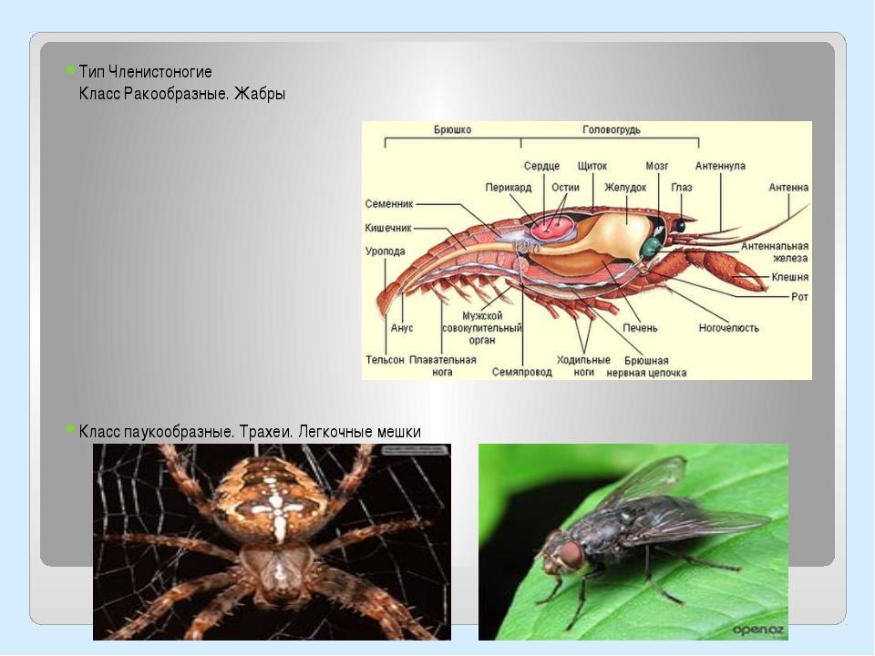 Тип Членистоногие Класс Ракообразные. Жабры Класс паукообразные. Трахеи. Лег...