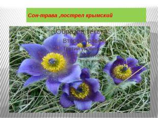 Сон-трава ,пострел крымский