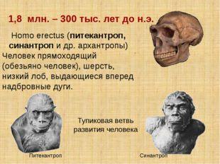 Homo erectus (питекантроп, синантроп и др. архантропы) Человек прямоходящий (