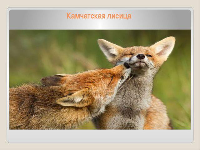 Камчатская лисица