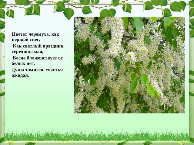 Цветет черемуха, как первый снег, Как светлый праздник середины мая, Весна бл...