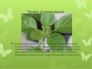 Начало формирования Когда растения выросли до 15 см, у них следует срезать ве