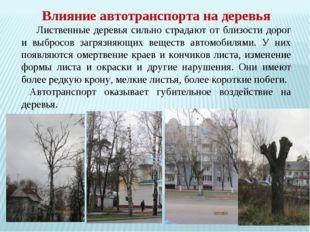 Влияние автотранспорта на деревья Лиственные деревья сильно страдают от близ