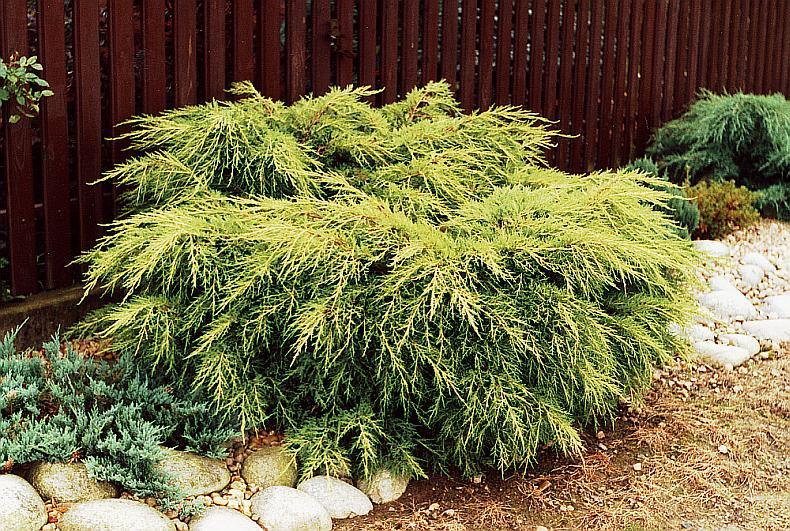 juniperus_media_old_gold_3.jpg