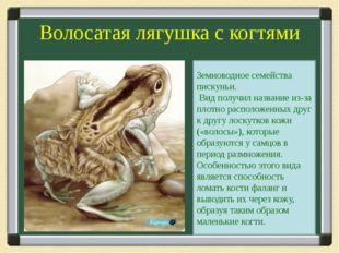 Волосатая лягушка с когтями Земноводное семейства пискуньи. Вид получил назва