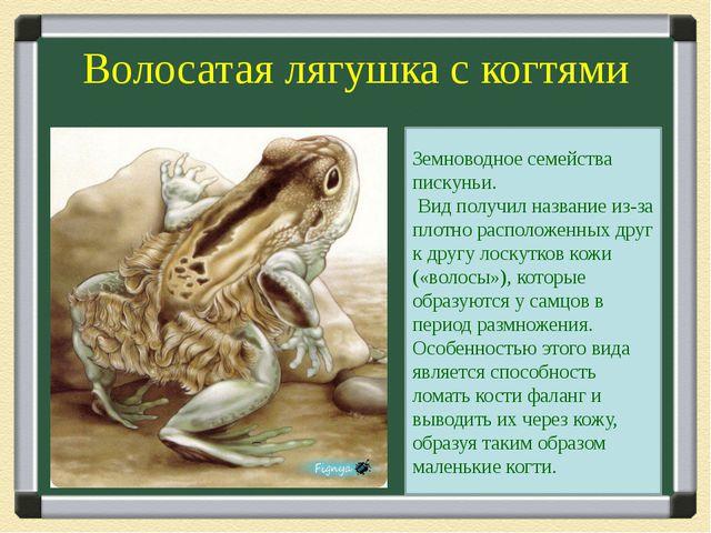 Волосатая лягушка с когтями Земноводное семейства пискуньи. Вид получил назва...