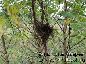 Птичье гнездо в березняке.