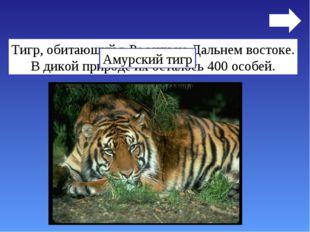 Тигр, обитающий в России на Дальнем востоке. В дикой природе их осталось 400