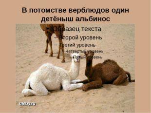 В потомстве верблюдов один детёныш альбинос