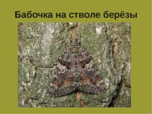 Бабочка на стволе берёзы