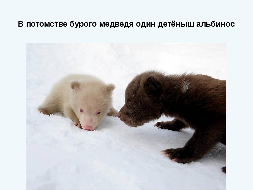 В потомстве бурого медведя один детёныш альбинос