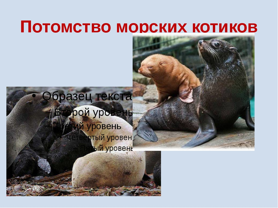 Потомство морских котиков